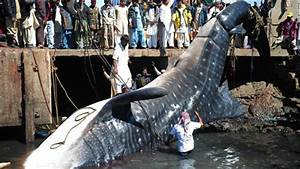 Most Amazing Facts: World's Biggest Shark Ever Captured ...