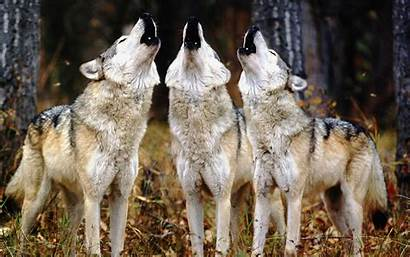 Howling Wolves Three Wallpapers Animals