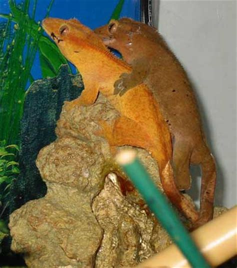 how long can i leave crested geckos diet in the cage