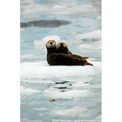 Sea Otter Pictures
