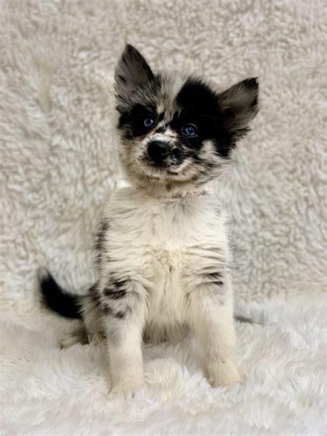 pomsky luxury puppies