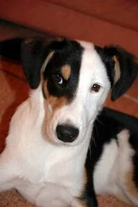 The gallery for --> Jack Russell Collie Mix