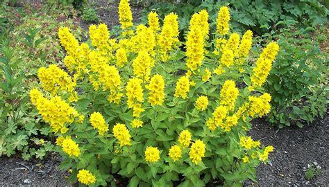 Gelb Blühende Stauden Winterhart by Goldfelberich Lysimachia Punctata Eine N 252 Tzliche