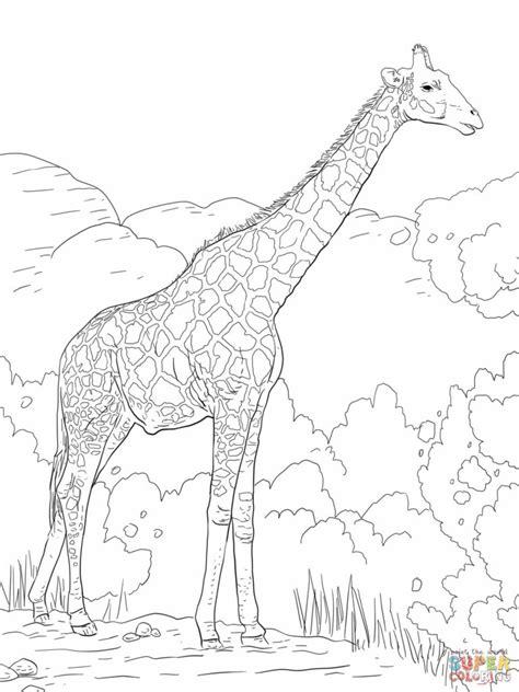 coloring pages giraffes coloring pages  coloring