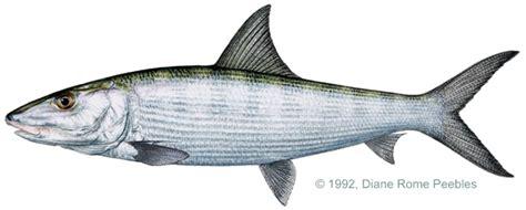 fishing 15 ikan linnaeus 1758 albulidae family also called banana