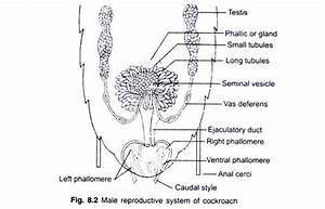 Diagram And Wiring  Diagram Of Male Reproductive System Easy
