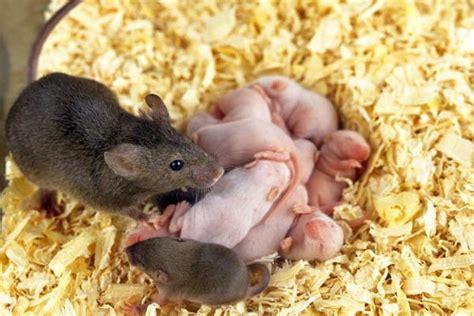 Mäuse Im Haus Bekämpfen Vermehrung 2