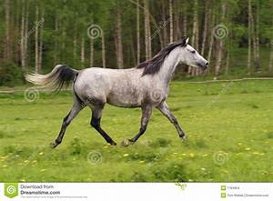 Running Arabian Horse, Shagya Arab Stock Photo - Image ...