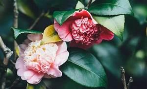 Comment Planter Un Camélia : comment bien choisir son cam lia guide d 39 achat promesse de fleurs ~ Melissatoandfro.com Idées de Décoration