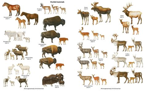 ungulates ungulate animals mammals animal deer hoofed history canadian natural these drawings sketches pets science naughton donna