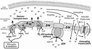 Schematic Representation Of Mitochondrial Oxidative