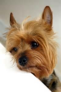 Sad Yorkie Puppy