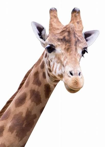 Giraffe Transparent Animals Pngpix Animal Clipart Purepng