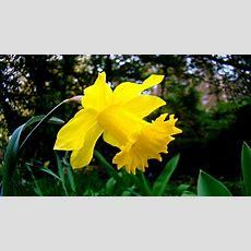 Daffodil Wallpaper Hd Download