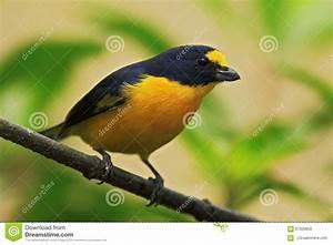 Oiseau Jaune Et Bleu : euphoniums jaune throated d 39 oiseau bleu et jaune hirundinacea d 39 euphoniums costa rica image ~ Melissatoandfro.com Idées de Décoration