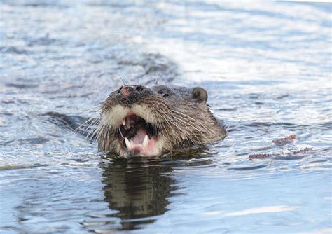 otters   norfolk landscape mike rae