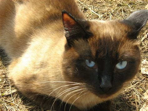 siamese cat twins  brother russian cats pictures