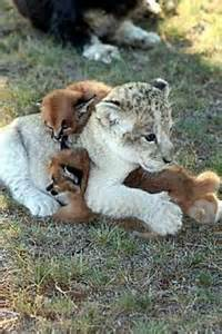 Lion and Cub Caracal Kittens