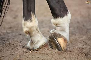 Equine Hoof Shape  U0026 Lameness