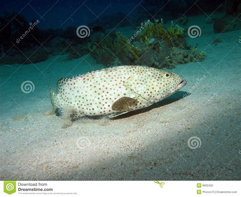 grouper greasy fish arabian epinephelus reef coral known bottom near preview