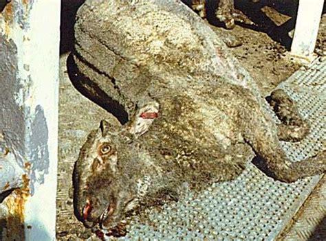 animal welfare disaster  egypt forces australia