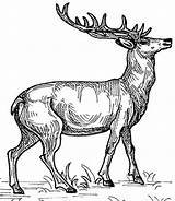 Coloring Animals Animal Wild Colouring Elk Deer Hubpages Colour Books Drawings Pencil Adult Children Template sketch template