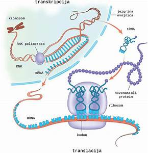 7  Schematic Picture Of Protein Biosynthesis Consisting Of