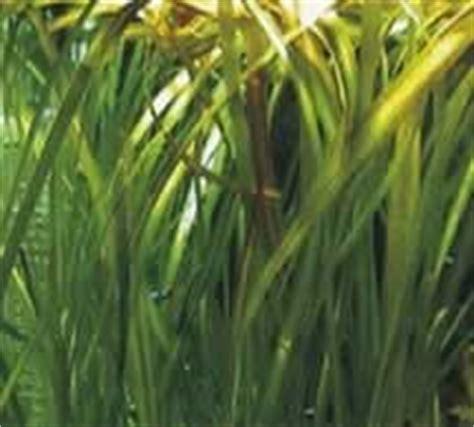 plante pour aquarium d eau froide pour les poissons suite