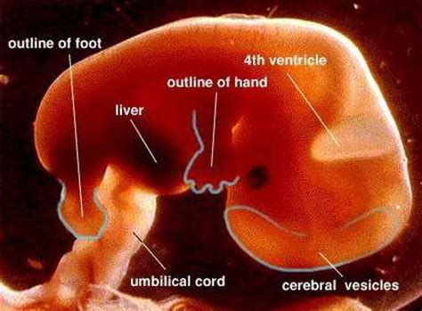 pregnancy week    st trimester