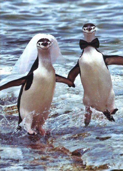 penguins running wedding marriage congratulations