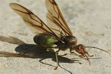 carpenter ants with wings winged carpenter ant flickr photo sharing