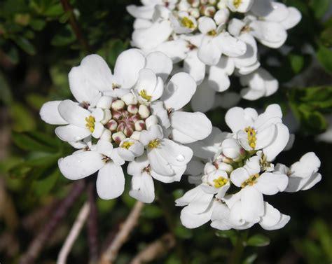 schleifenblumen wikipedia