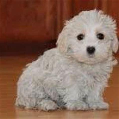 westiepoo dog breed information