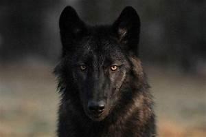 Symbole Du Loup : les 10 races de chiens qui ressemblent des loups ~ Melissatoandfro.com Idées de Décoration