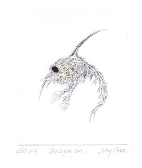 Brachyran Zoea Crab Plankton Hand Coloured Etching