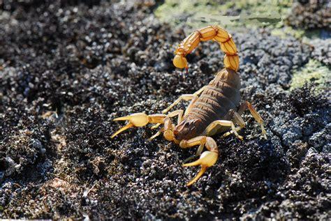 Scorpion Animal Wallpaper - scorpion 4k ultra hd wallpaper and background image