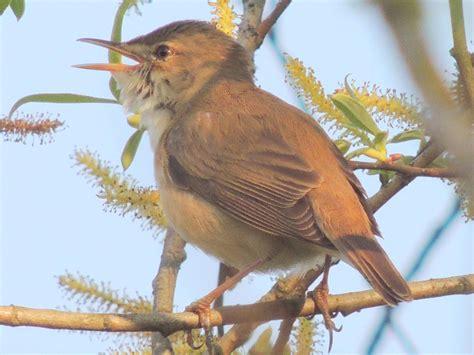 Teichrohrsanger Eurasian Reed Warbler Acrocephalus