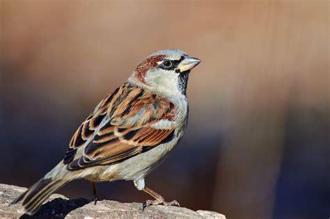 house sparrow indiana audubon society