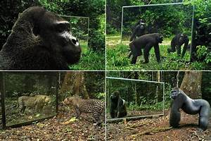 Watch gorillas and leopards admire their own reflections ...