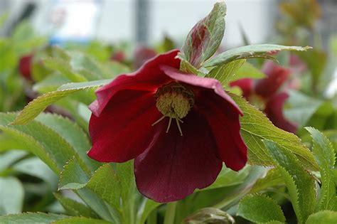 helleborus nurseries canada racer hellebore helleborus racer in st port stanley woodstock aylmer