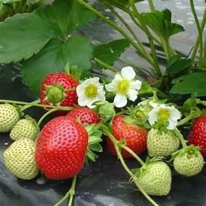 Plant De Fraise : fraisier remontant 39 maestro cov 89 98 1 39 le lot de 20 ~ Premium-room.com Idées de Décoration