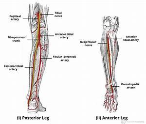 Arteries Of The Lower Limb - Thigh - Leg