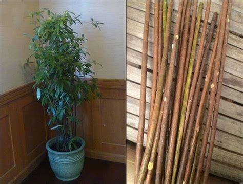 bambu jepang dracaena bisa membantu pleci tampil