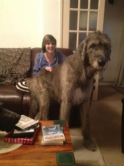 perros grandes   se han dado cuenta de su gran tamano