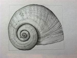 CMPimages: Florida Apple Snail sketch