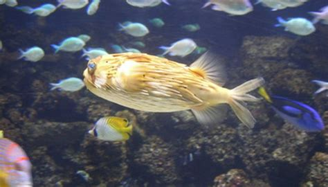 types  ich disease  porcupine puffers animals momme