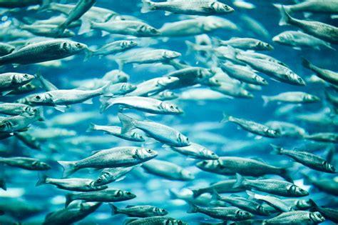 safer  eat farmed fish  wild fish