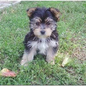 Maltese/Yorkie mix puppy | My Yorkie | Pinterest