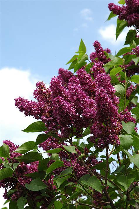 charles joly lilac syringa vulgaris charles joly