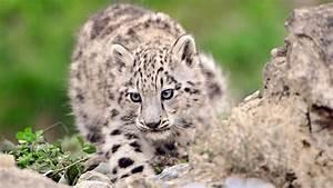 Snow Leopard Cubs Wallpaper Baby Animals Animals (65 ...